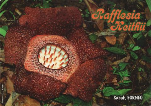 A rafflesia keithii flower from Sabah in Borneo, Malaysia.